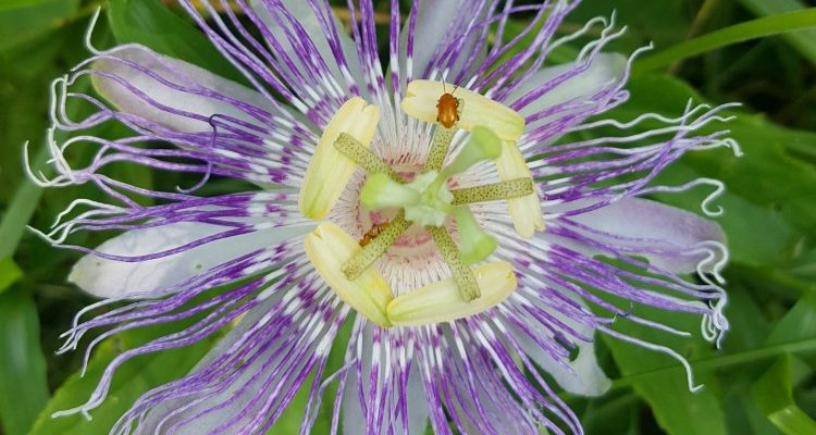 TN Official Wildflower: The Passionflower