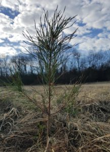 virginia pine growing christmas trees